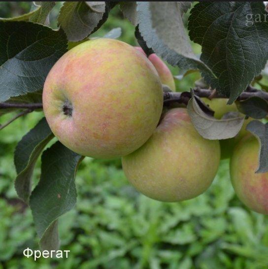саженцы яблони сорта Беркутовское - питомник саженцев Садгард | 546x544
