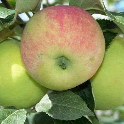 Яблоня Апрельское в контейнере, высотой от 0,4м